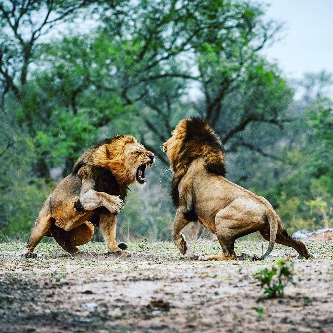 картинки лев против человека связавшись нами