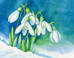 Snowdrops by Alina-Kurbiel