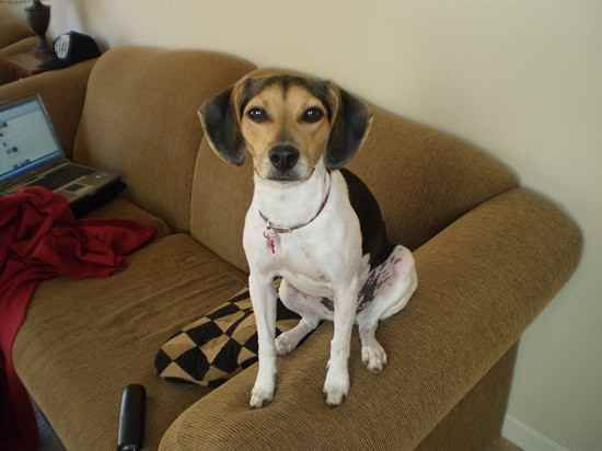 Raggle Rat Terrier X Beagle Mix Info Temperament Training