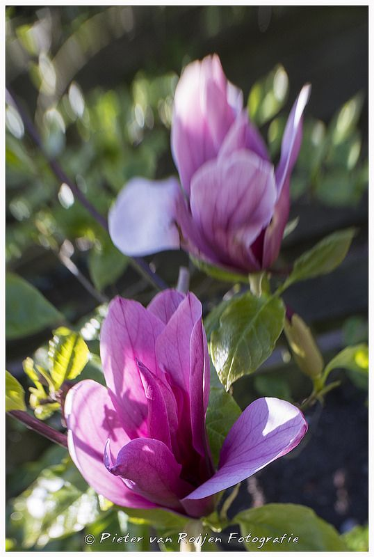 Repetitive Magnolias | Plant species, Lens and Photography
