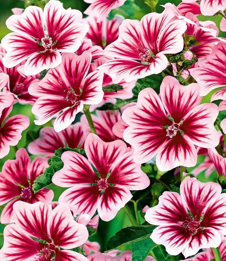 Baldur Garten Stauden Malve Zebrina Winterhart 3 Pflanzen Malvenpflanze Amazon De Garten Stauden Winterharte Stauden Pflanzen