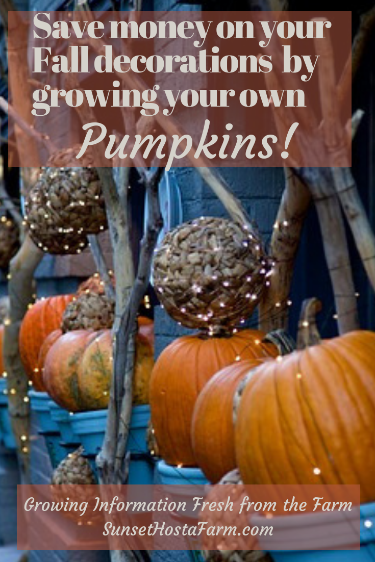 If You Bought Pumpkins For Your Fall Decor Know How Expensive It Can Be Are One Of The Easiest Vegetables To Grow As Long Start