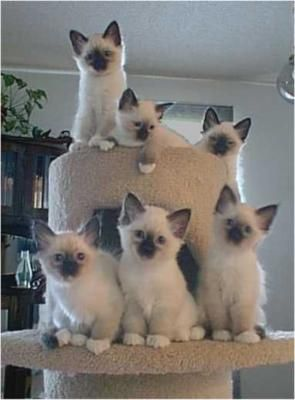 Oh My The Birman Cat Is Also Known As The Sacred Cat Of Burma This Is A Beautiful Cat Whose Luxurious Coat And Exquisit Cute Cats Pretty Cats Kittens Cutest