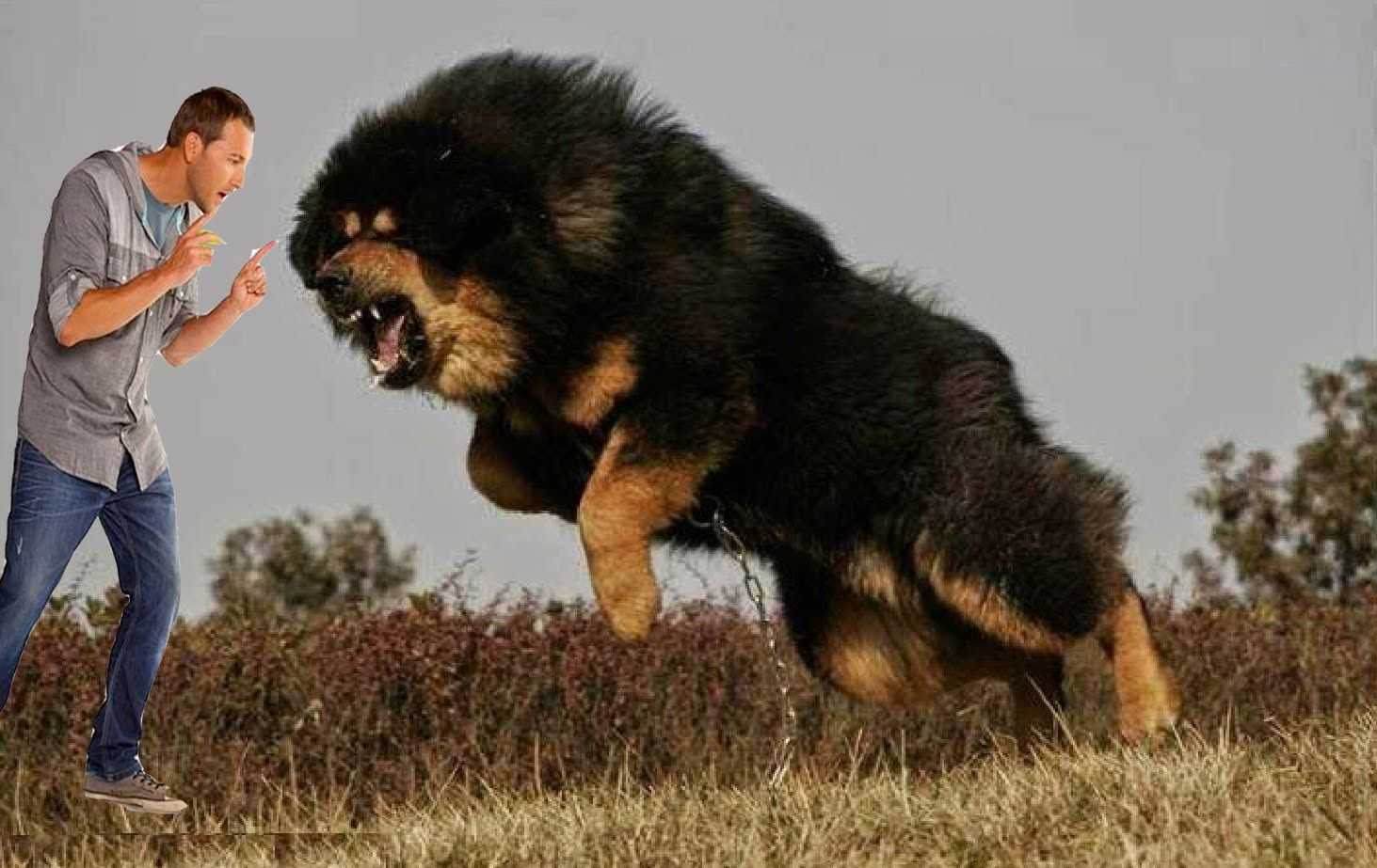 TOP 10 GUARD DOGS IN INDIA (INDIAN GUARD DOG BREEDS)