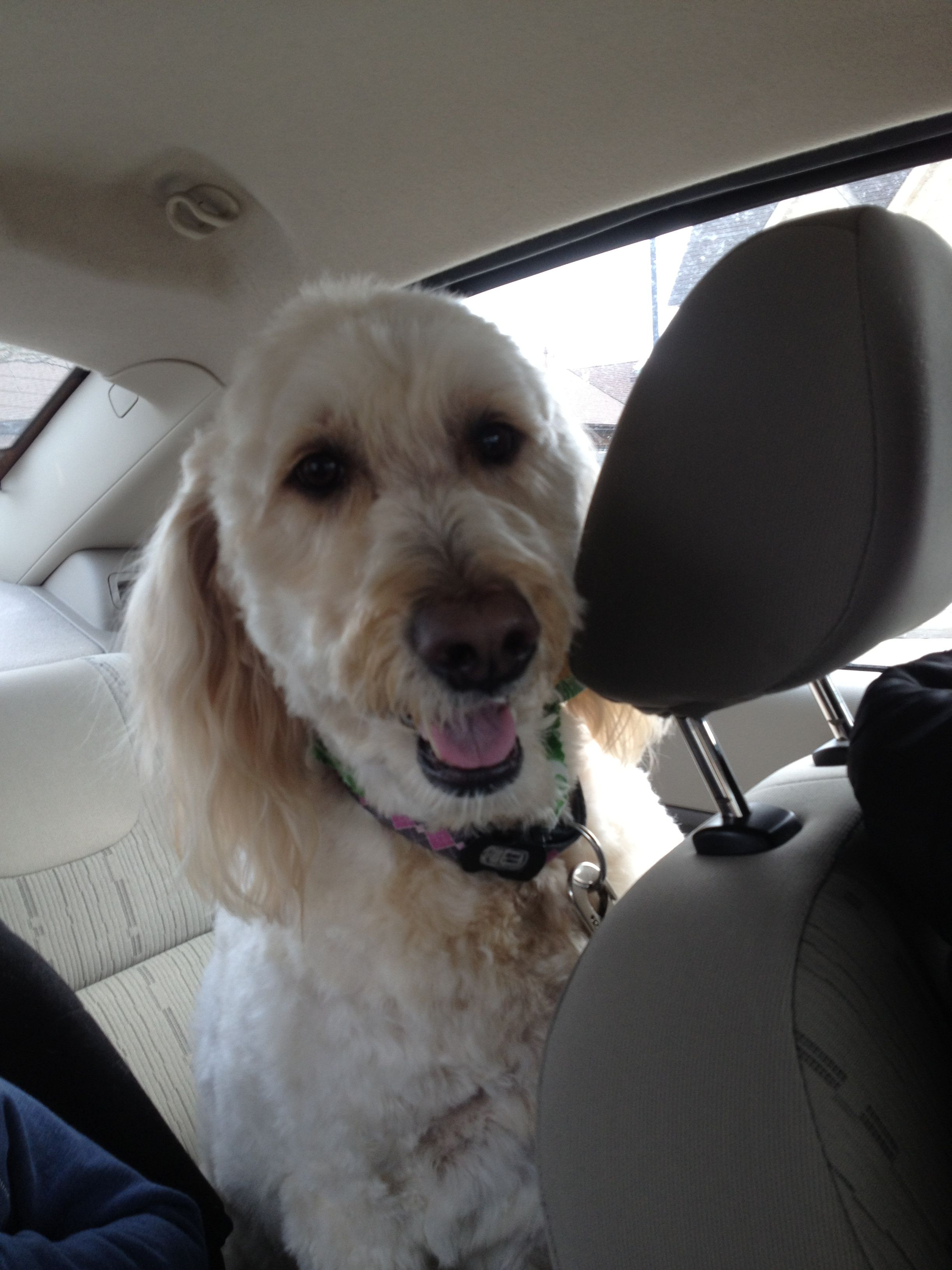 I love her!! Golden-doodles are the best dogs