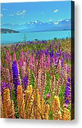 Lupine At Lake Tekapo Photograph by Harry Strharsky - Lupine At Lake Tekapo Fine Art Prints and Posters for Sale