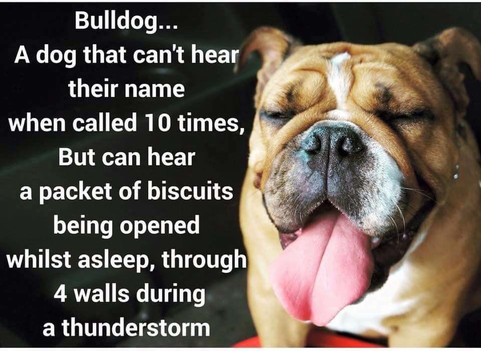So true!! English bulldog funny, Bulldog funny, Bulldog pics