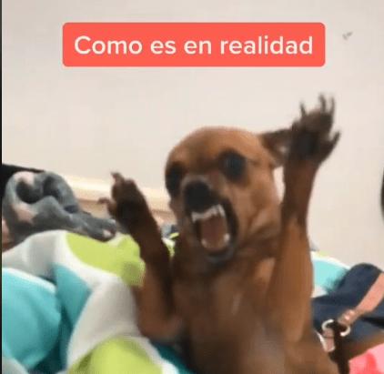 Adopta Un Chihuahua Decian Sera Bonito Decian Chihuahua Perros Decir No