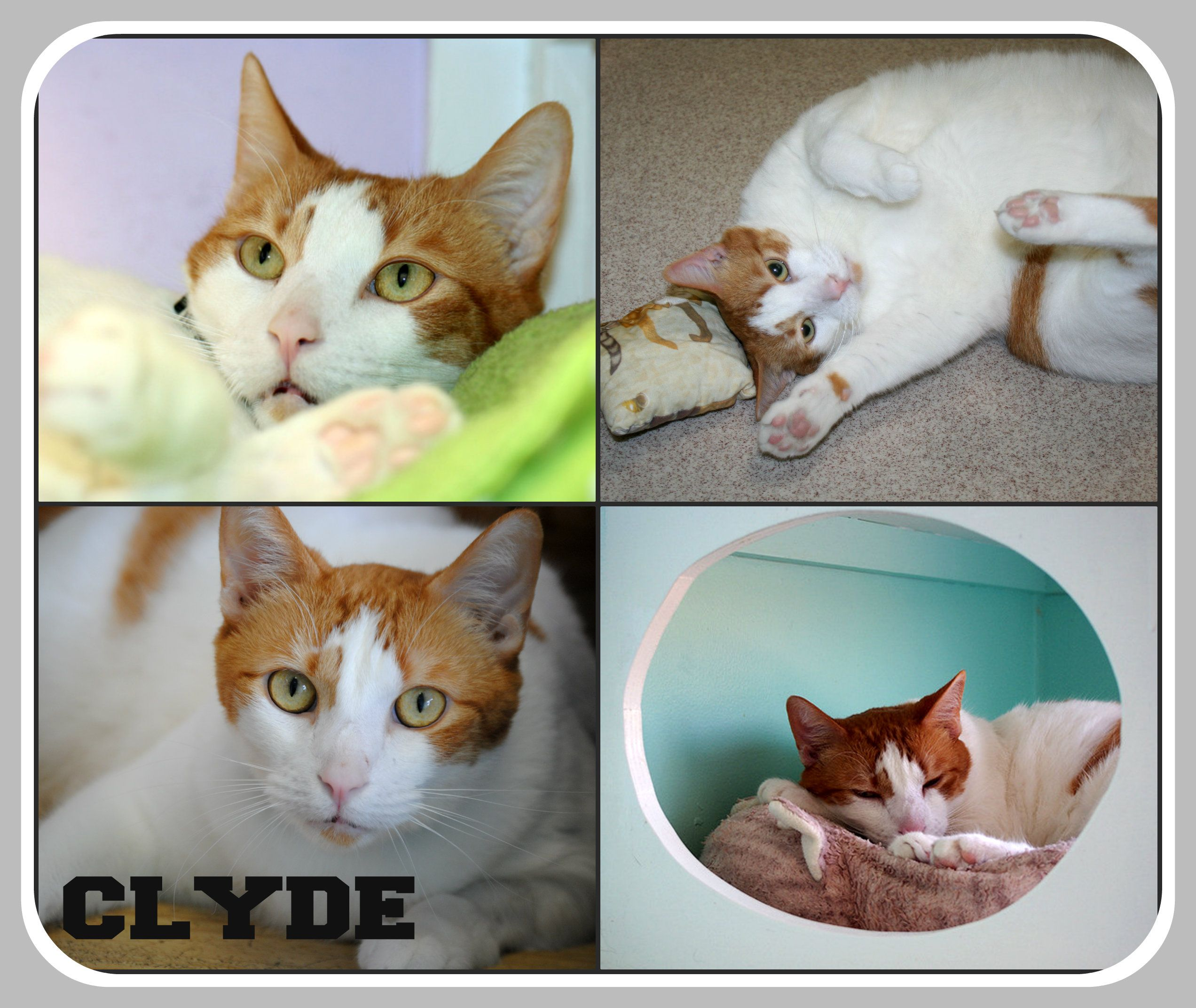 Adoptable cat, Mr. Clyde at Good Mews