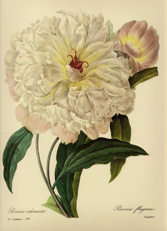 Vintage Peony Print Girly Wall Art White Flower Art Classic Southern ...