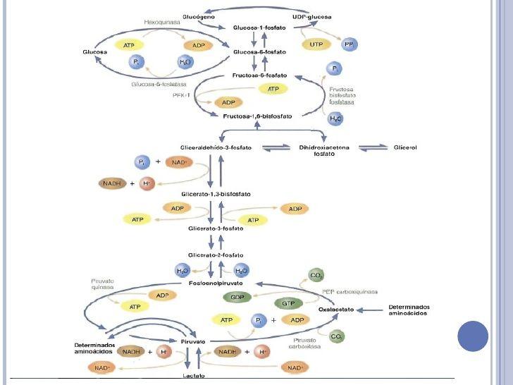 glycolysis glycogenesis glycogenolysis gluconeogenesis chart