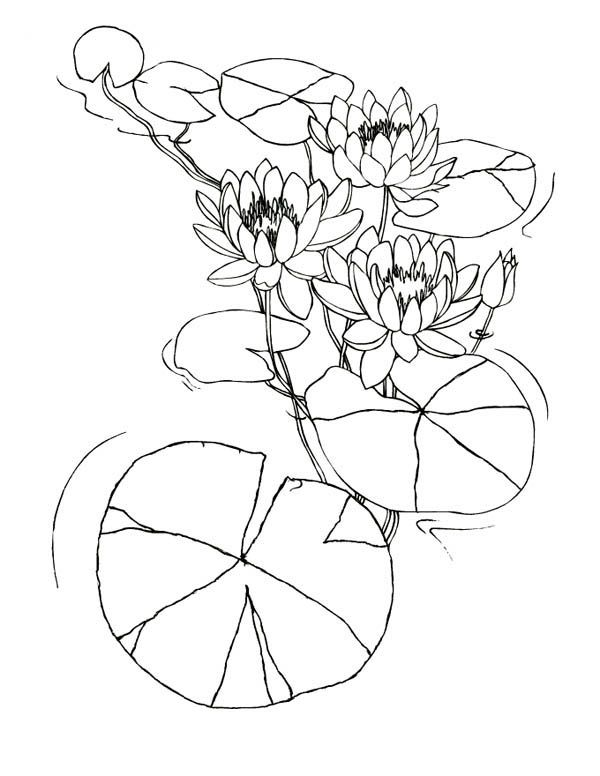 Lily Pad Water Lily Flowers Among Lily Pad Coloring Page Lily