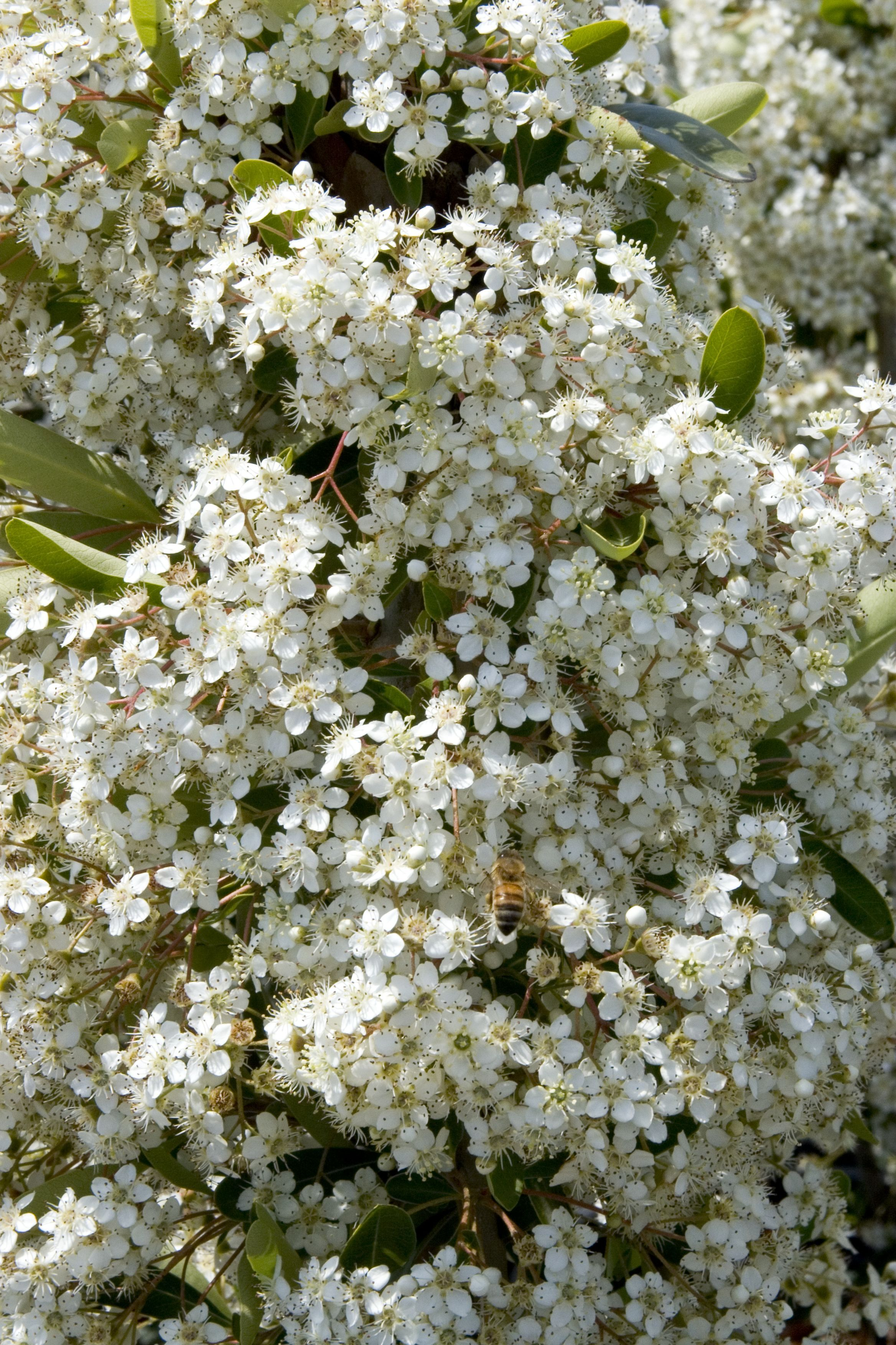 Victory Pyracantha Is A Bold Upright Grower That Displays Intense