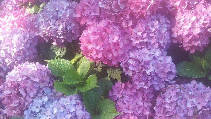 Hortensias Comment Les Faire Bleuir A Coup Sur Arbre De Jardin