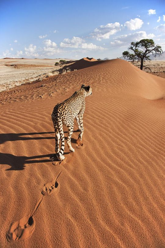 Cheetah on dune with desert landscape in back ground
