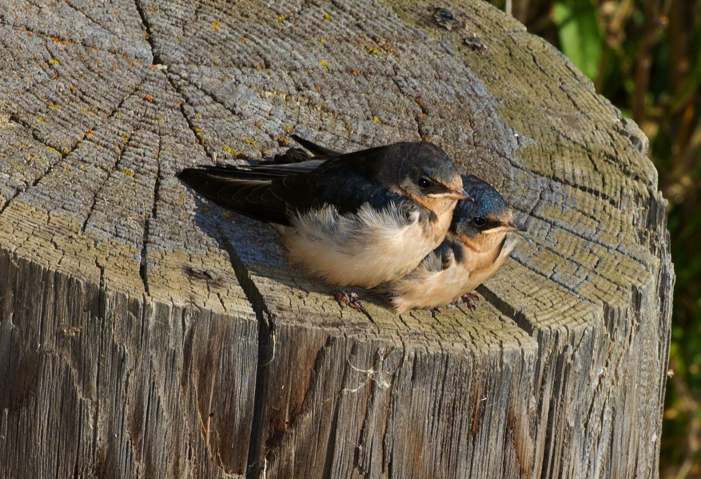 Barn Swallows photographed at Chambers Bay WA.