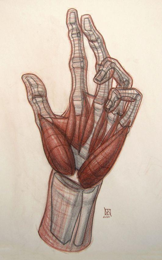 Anatomy Demos Manos Hands Pinterest Anatomy Human Anatomy