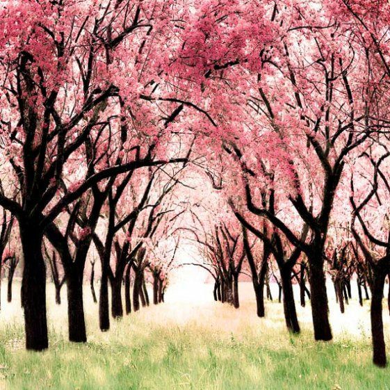 Wonderland cherry blossom orchard