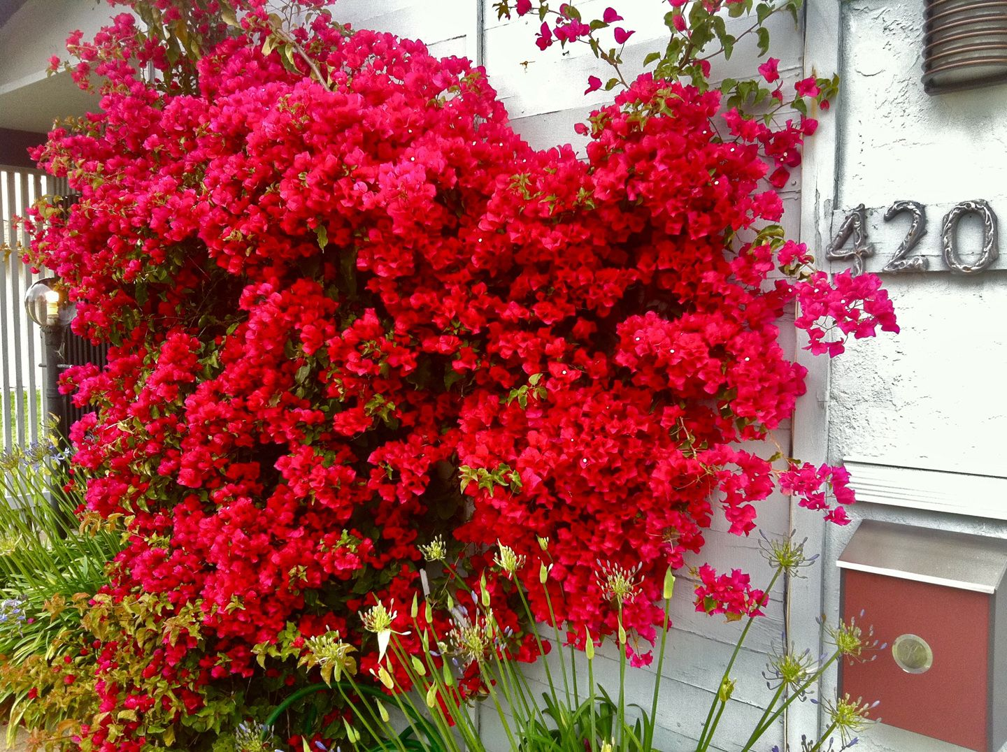 Bougainvillea San Diego Red Bougainvillea Flowers And