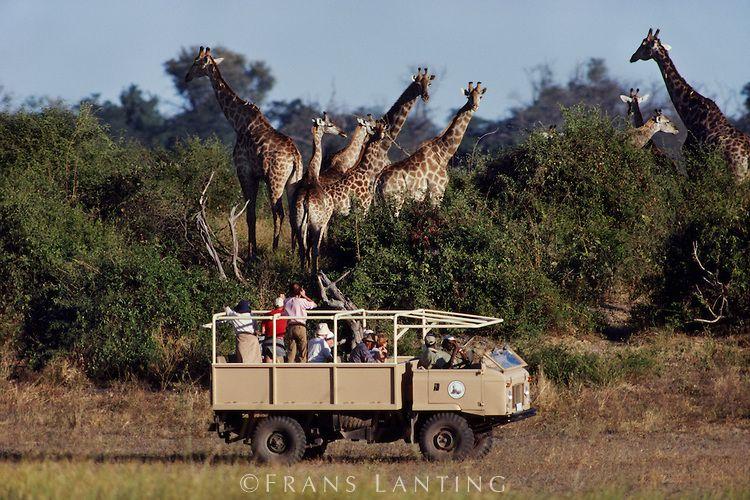 Tourists watching giraffes, Chobe National Park, Botswana