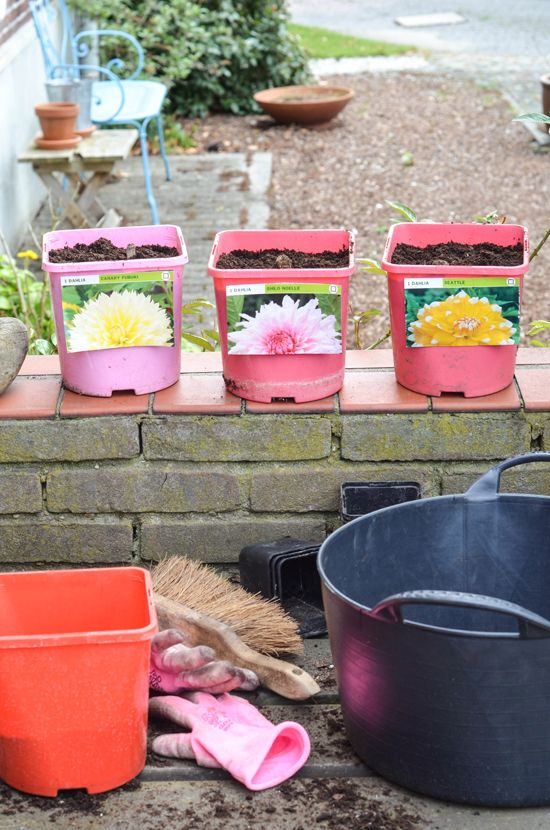 Planting dahlias in the cold ground will make them die as - How to plant a flower garden for dummies ...