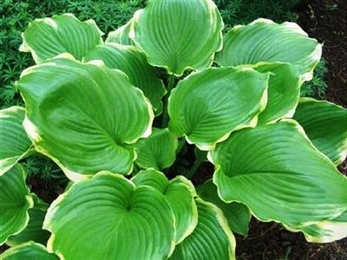 Winter Snow Hosta 45 Inch Container Need To Order Hosta