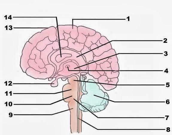 Blank Brain Diagram To Label Human Anatomy