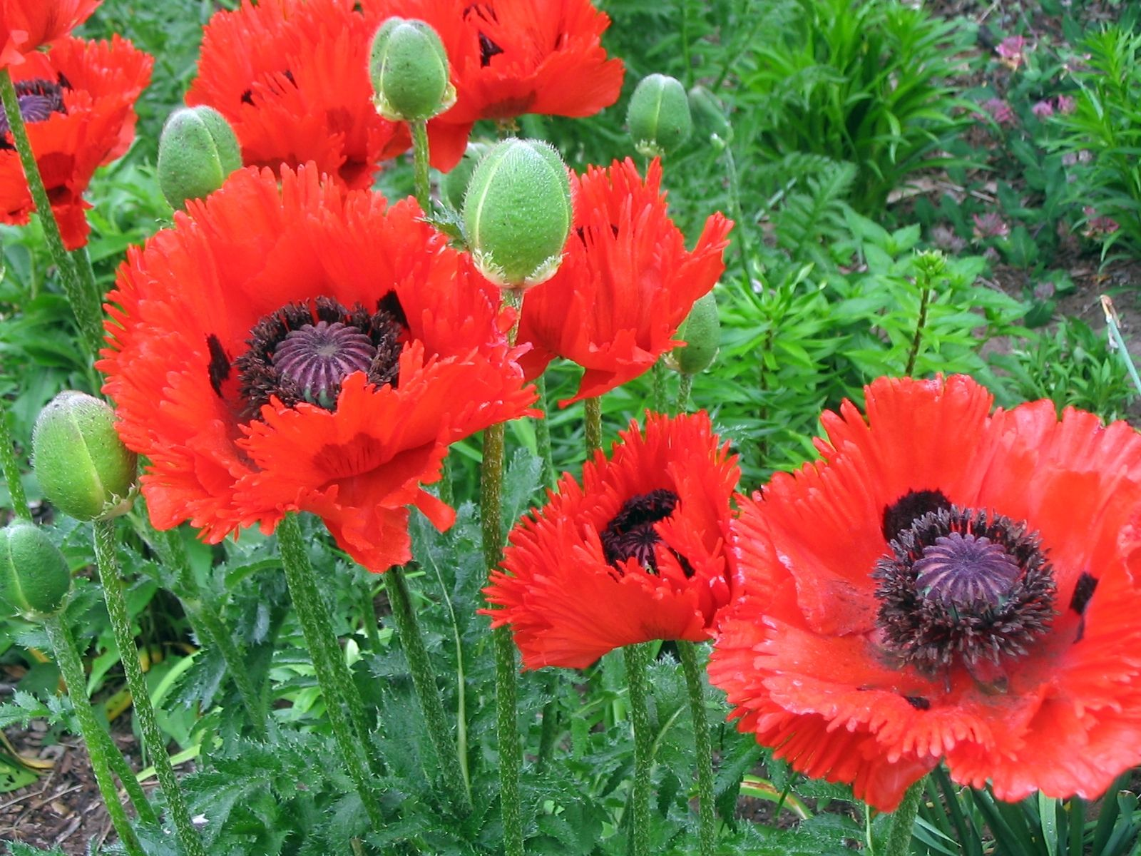 Poppy Plant Yahoo Image Search Results Flowers Pinterest