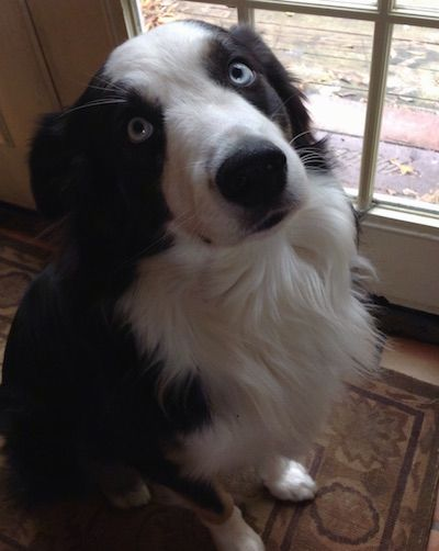 Kai The Blue Eyed Black And White Australian Shepherd Sitting On A Rug In Front Of A Door Black Australian Shepherd Australian Shepherd Shepherd Dog Breeds