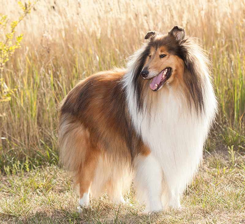 Collie Dog Breed Information Center A Guide To The Rough Collie