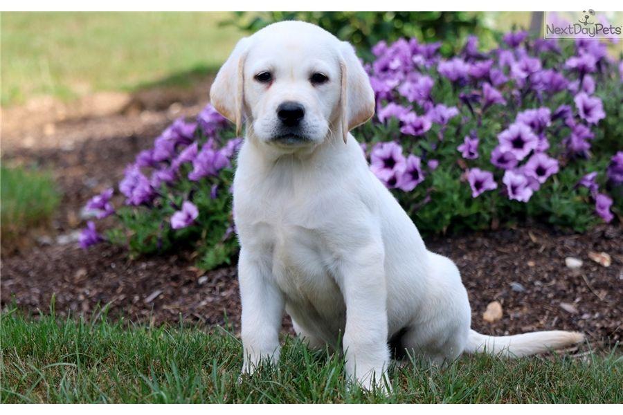 Labrador Retriever Puppy For Sale Near Lancaster Pennsylvania