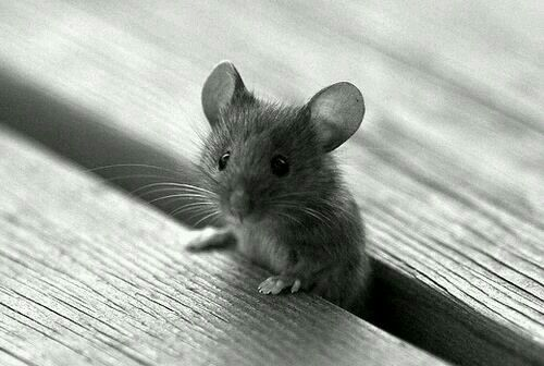 ♡♡♡ Cutest little mouse! Beautiful Creatures Cute animals