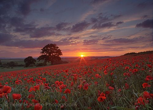 Sunset over the poppy field