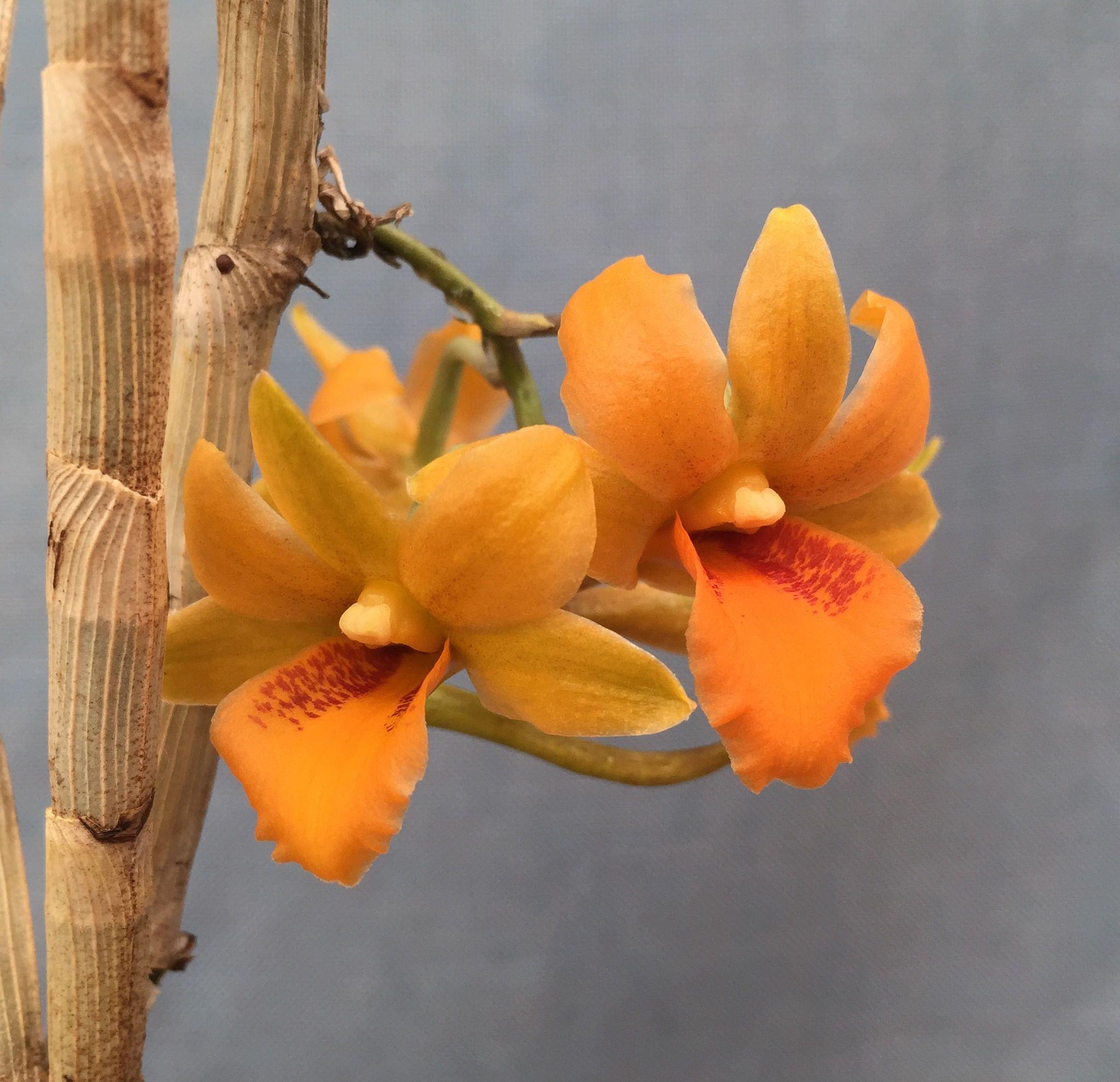 Dendrobium crocatum