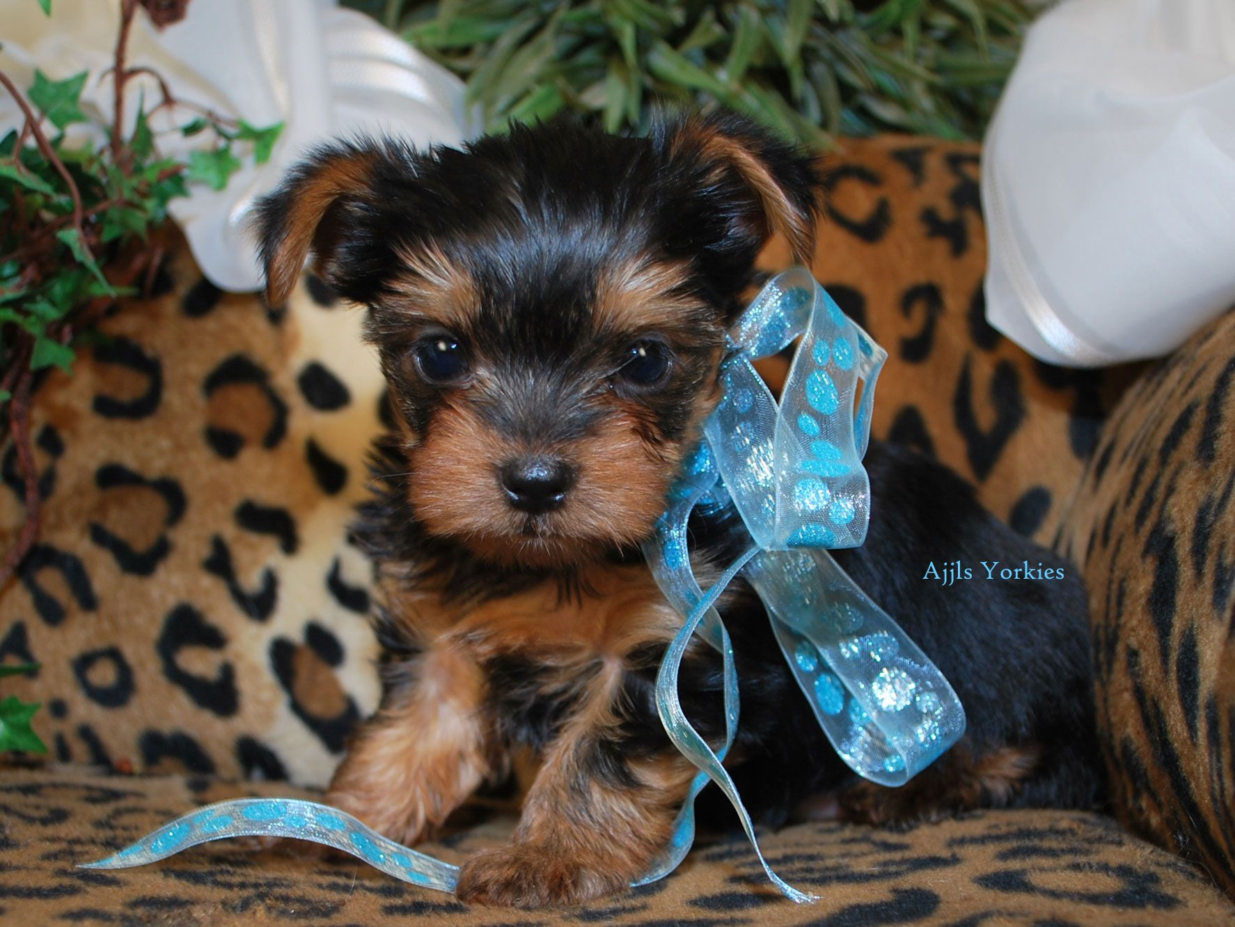 Teacup Yorkie New York Rolex (With images) Yorkie puppy