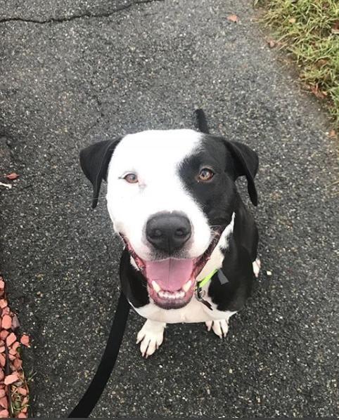 Bullboxer Pit dog for Adoption in Boston, MA. ADN749824
