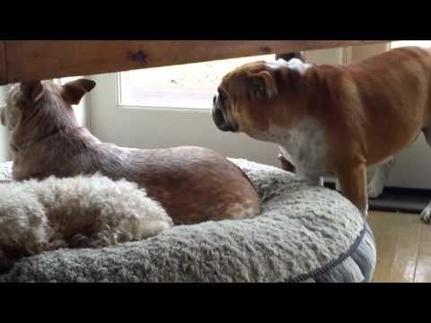 Bulldog Throws Temper Tantrum For His Stolen Bed Dogs Dog Toys
