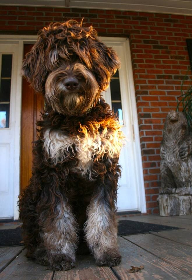 The Phantom Color Pattern From Fountainfalls Goldendoodles In