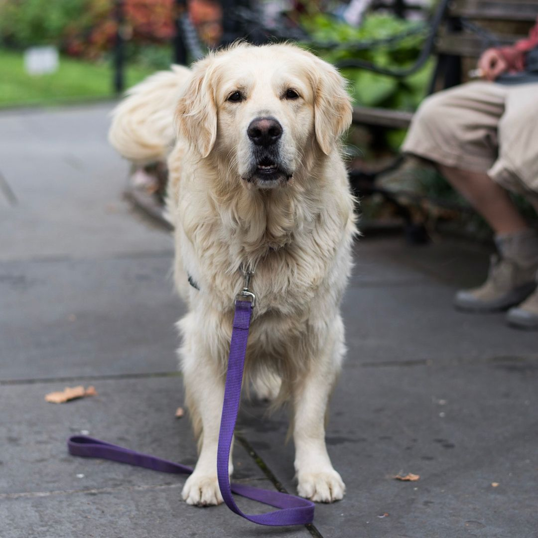 Sandy Golden Retriever 4 Y O Abingdon Square Park New York
