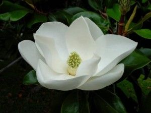 Naturalremediesbase Com Little Gem Magnolia Tree Magnolia Trees For Sale Magnolia Flower