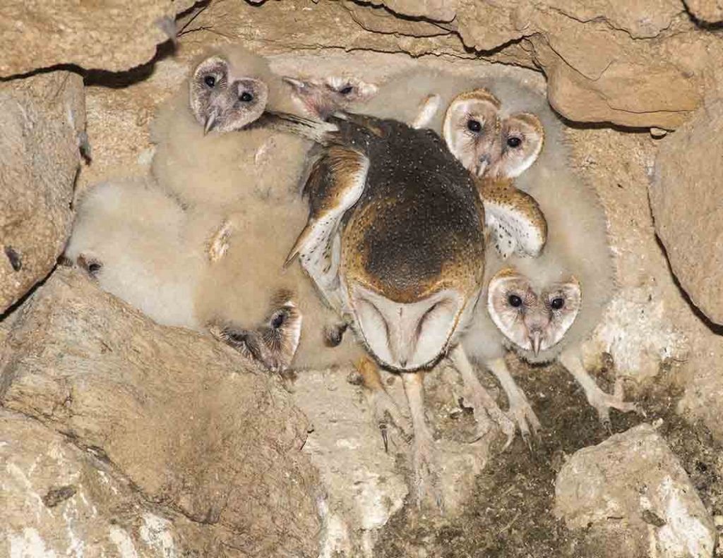 Barn owl 6 chicks count the heads by jerry schudda http barn owl 6 chicks count the heads by jerry schudda http buycottarizona