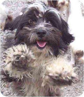 Bearded Collie Tibetan Terrier Mix Google Search Bearded