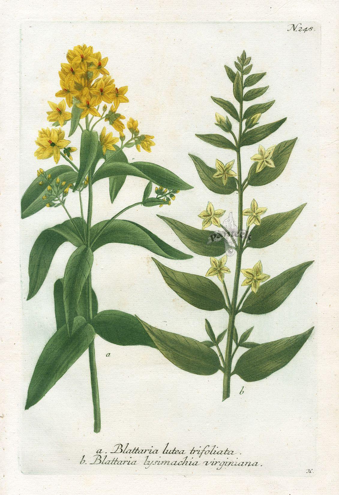 Blattaria lutea trifoliata  (1130×1650)