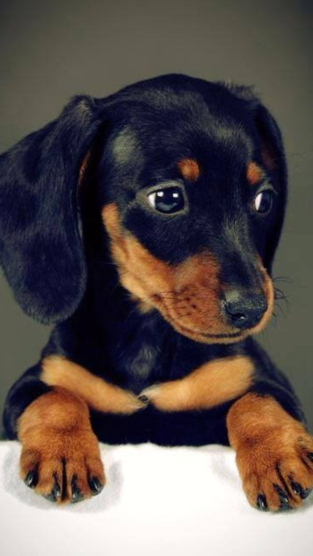 Items I Love By Ghach1 On Etsy With Images Dachshund Puppies