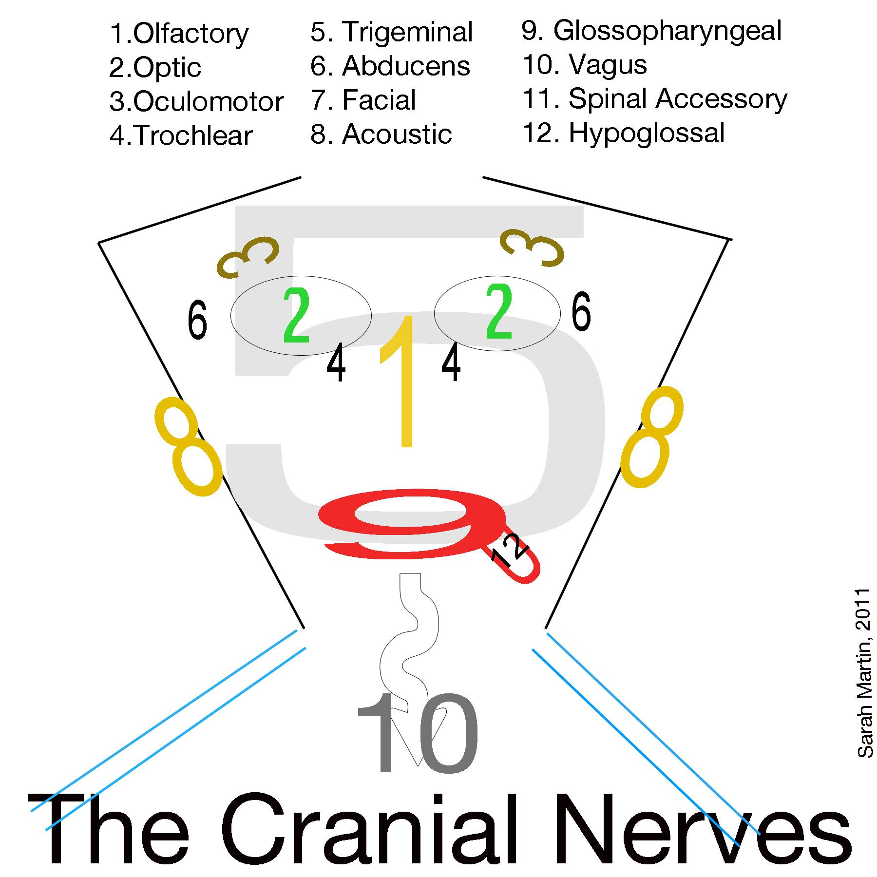 cranial nerves people with tmj get awful headaches and migraines, Human Body