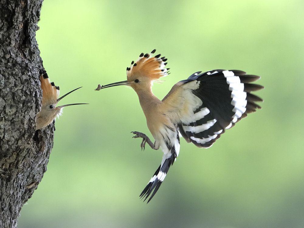 Abubilla, (upupa epops) fotografiert von Hans Frank, via fotocommunity.de Es ist ein Zugvogel. Auf dem Kopf zeigt es ein auffälliges …