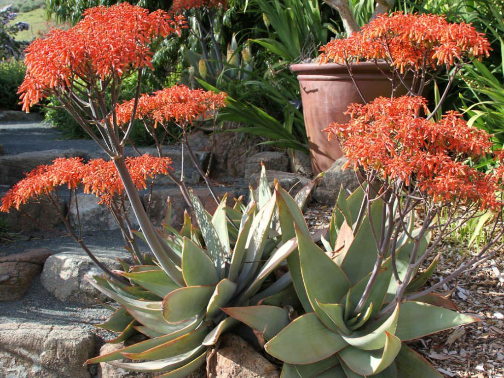Aloe In Giardino aloe striata - coral aloe (con immagini) | giardino