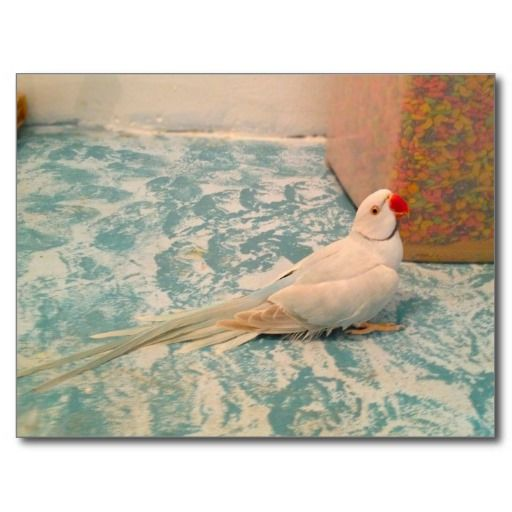 Male Clear Head Tail Indian Ringneck Post Card Cute Baby Animals Postcard Baby Animals