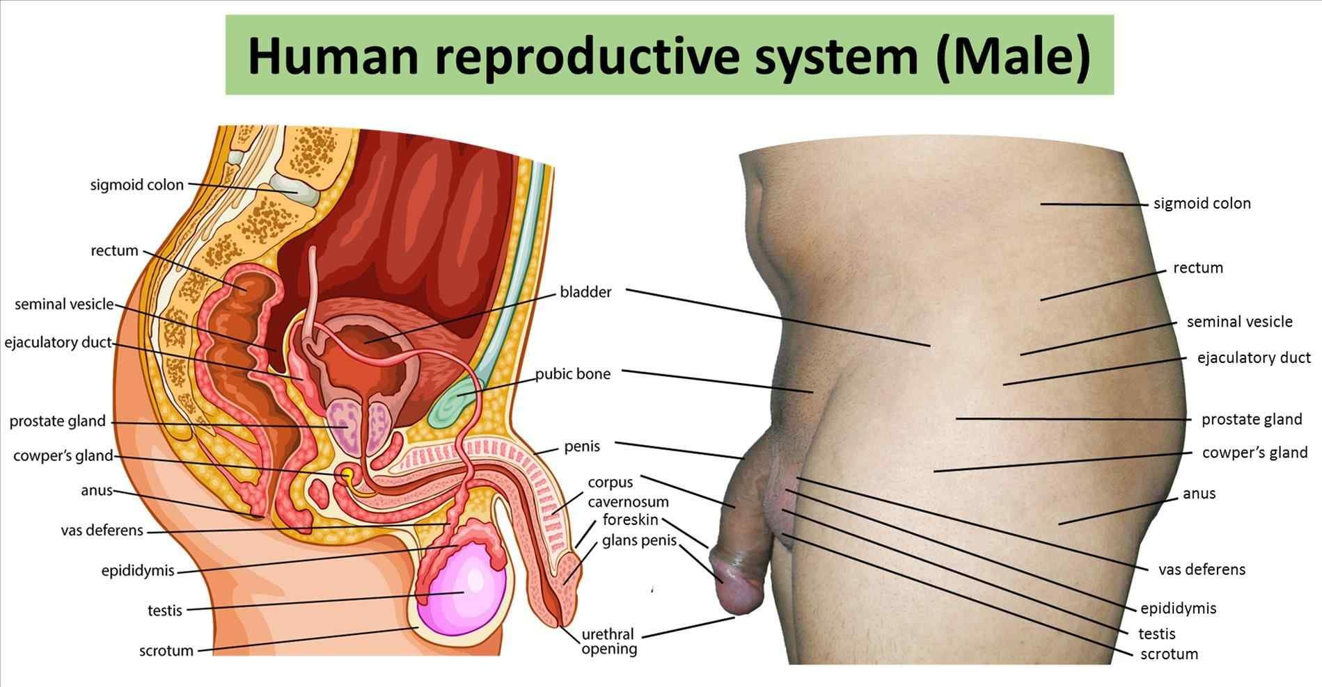 How to insert male organ into female organ diagram template ...
