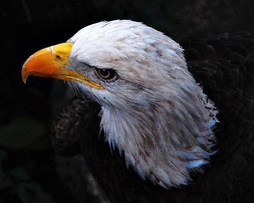 awesome eagle
